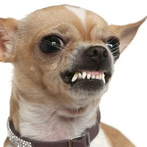 Close-up of angry Chihuahua growling, 2 years old, in front of w