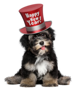 Cute havanese puppy dog is wearing a Happy New Year top hat
