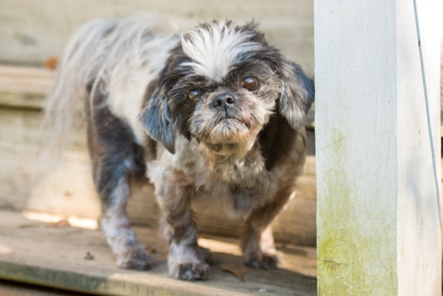 Adopting Dogs With Special Needs | Crossroads Shih Tzu Rescue
